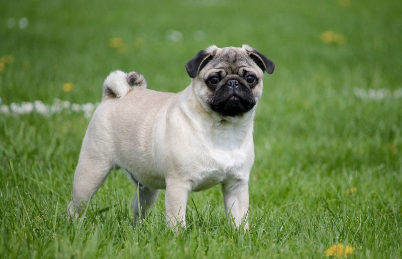 Pug with fawn coat