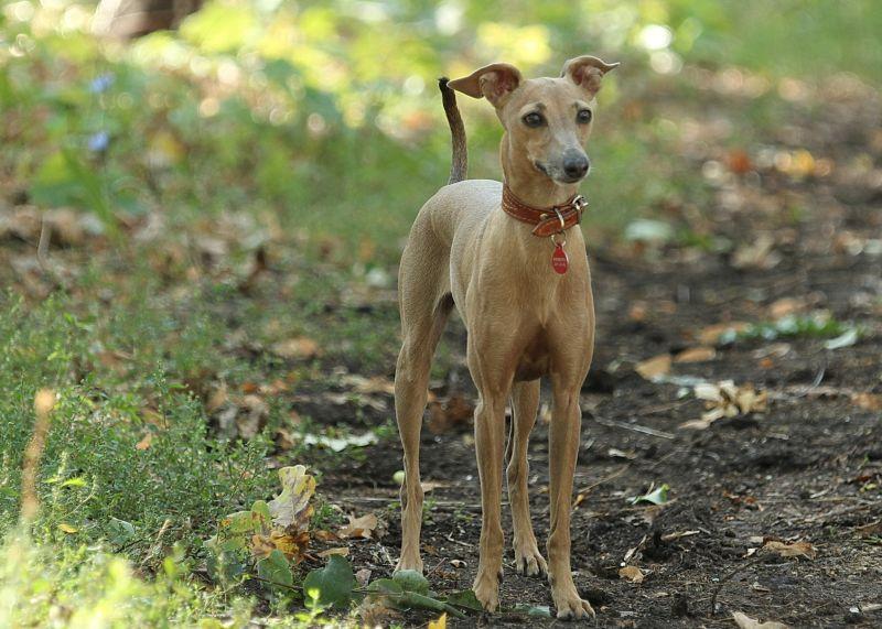 fawn-colored Italian greyhound