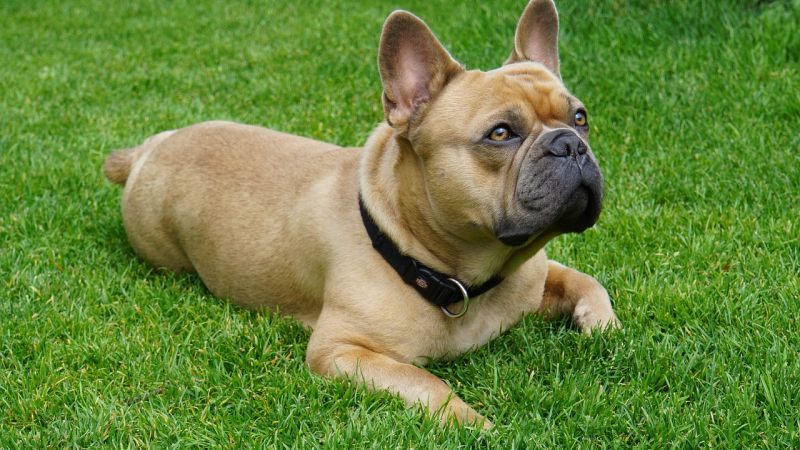 Fawn colored Frenchie