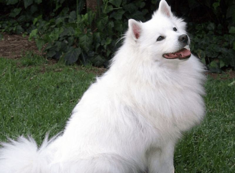 Indian spitz dogs are medium-sized pups