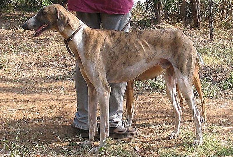 Kaikadi dogs are from India