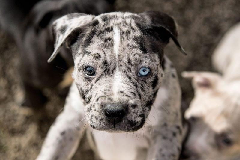 Cute merle pit bull puppy