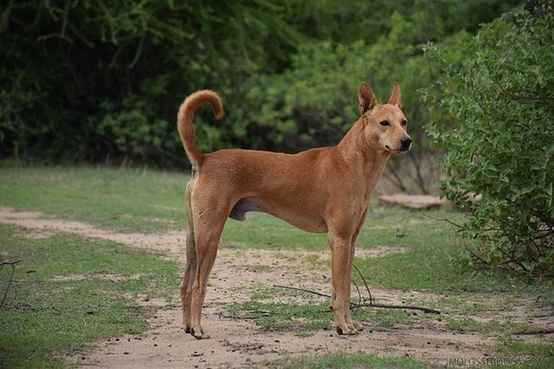 The Pandikona dog from India