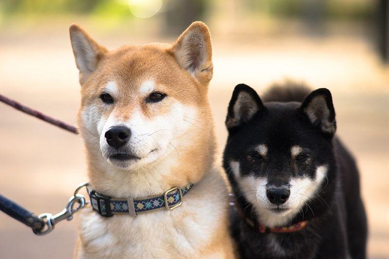 Shiba inus are Japanese