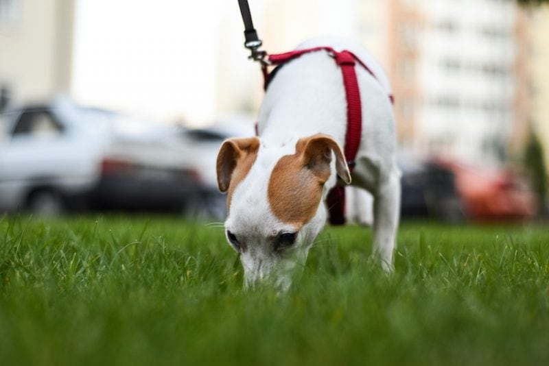 small dog sniffing