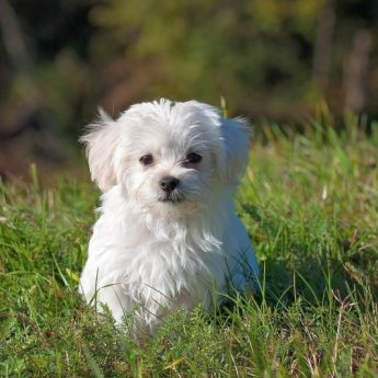 white colored dogs
