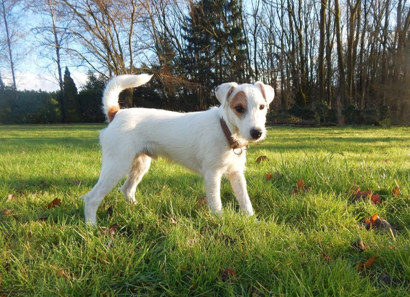Parson Russell terriers can be white