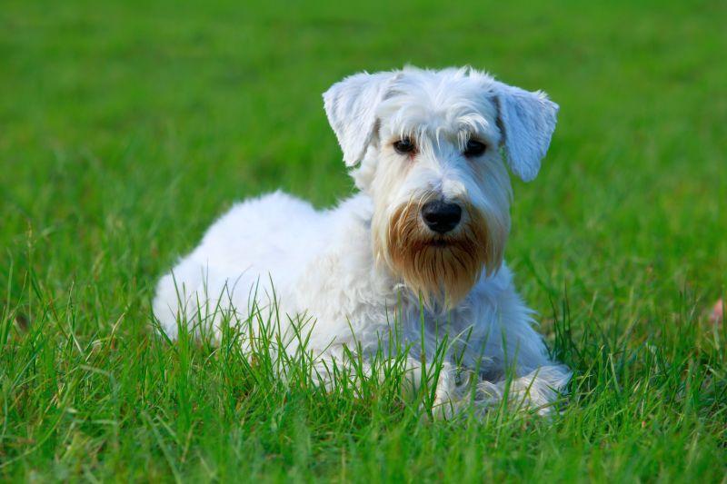 Sealyham Terriers are British