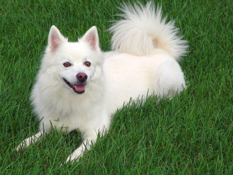white American Eskimo dog