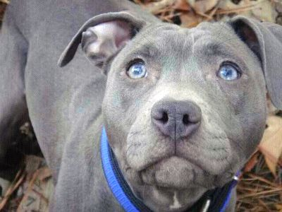 Blue nose pit bulls have gray coats
