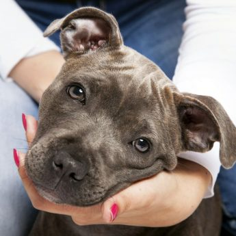 what is a blue nosed pit bull