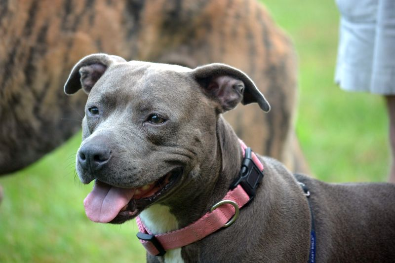 finding a blue nose pit bull