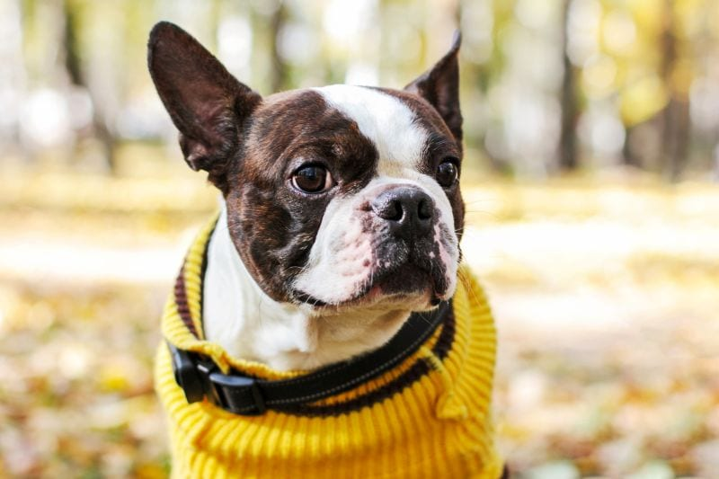 boston terriers are good dogs for seniors