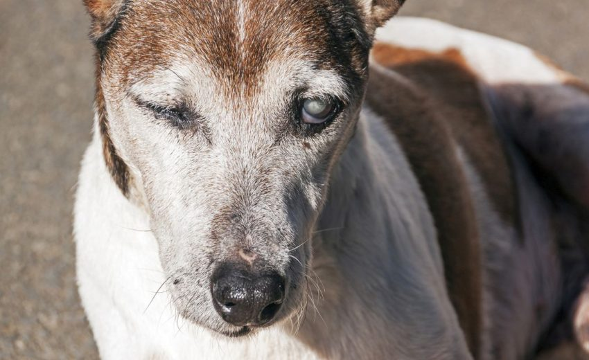 A dog with cataracts