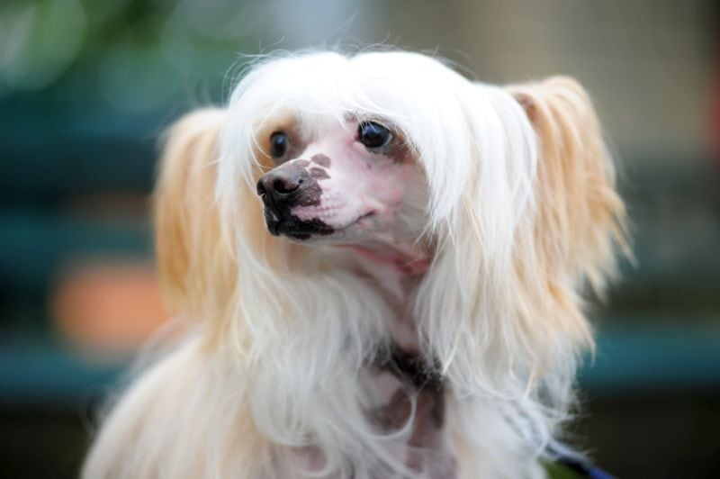 Chinese crested dogs can have white hair