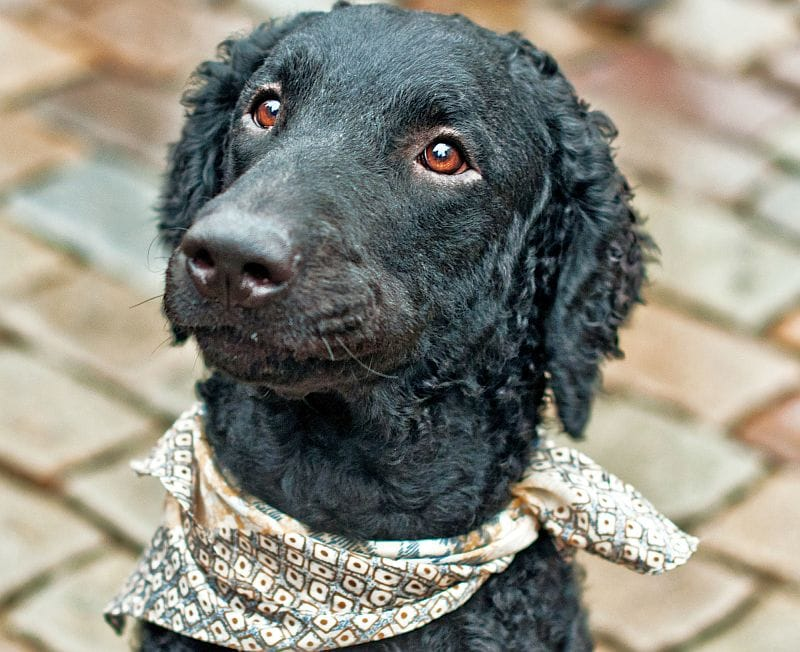 curly coated retrievers are an unusual breed