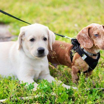 A dachshund and a Lab