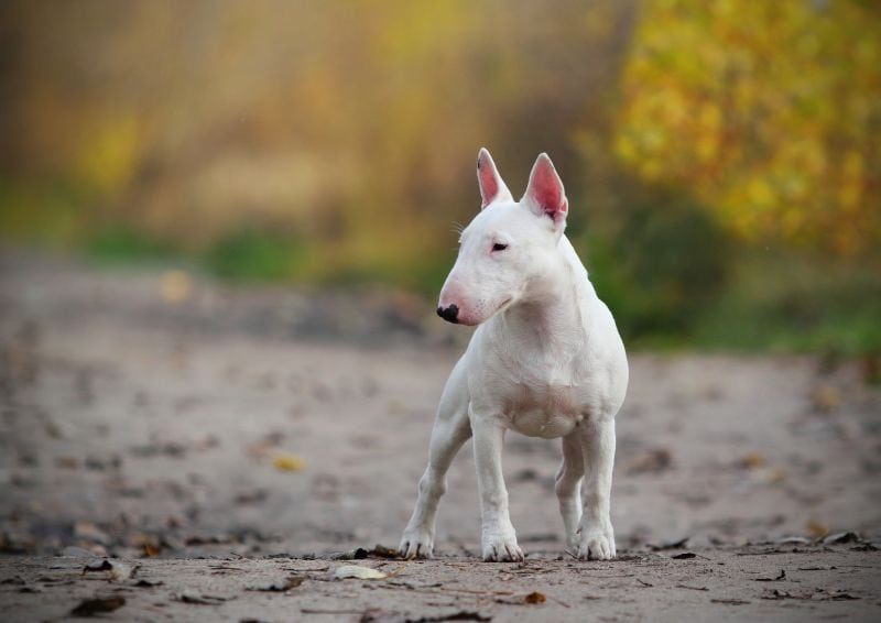 bull terriers can have white hair