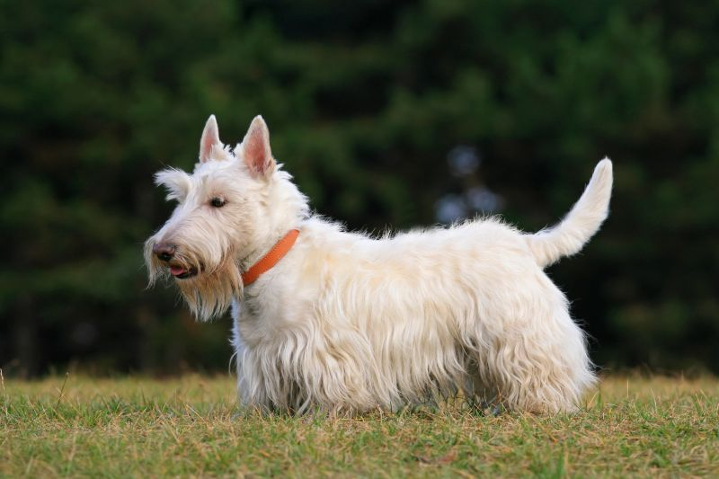 Scottish terriers are great for seniors