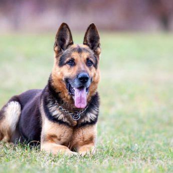 German shepherd guard dogs