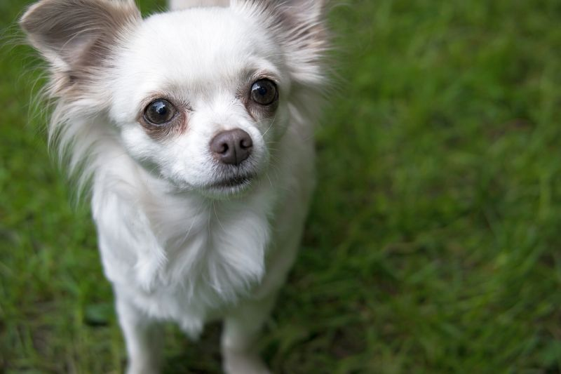 Chihuahuas are loyal dogs
