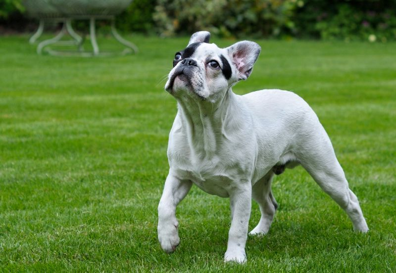 French bulldogs can be white