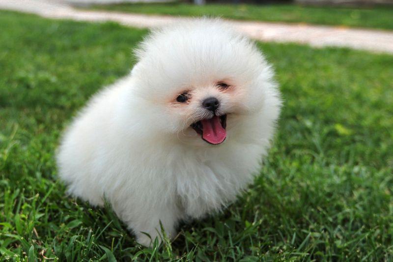 Pomeranians are smart dogs