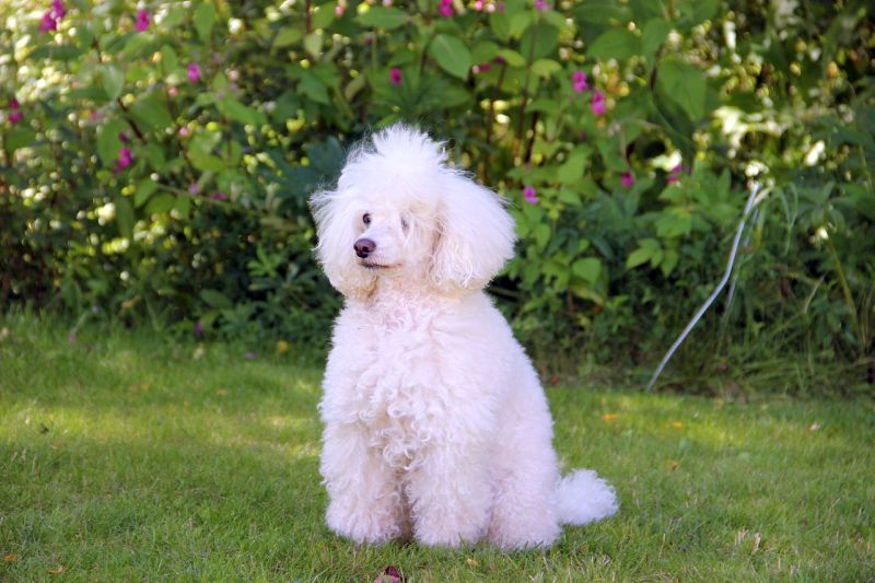 poodles can have white fur