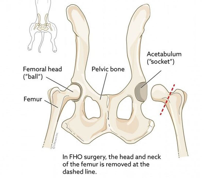 FHO surgery for dogs