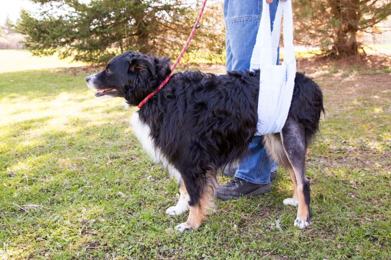 Dogs need to recover after ccl/acl surgery
