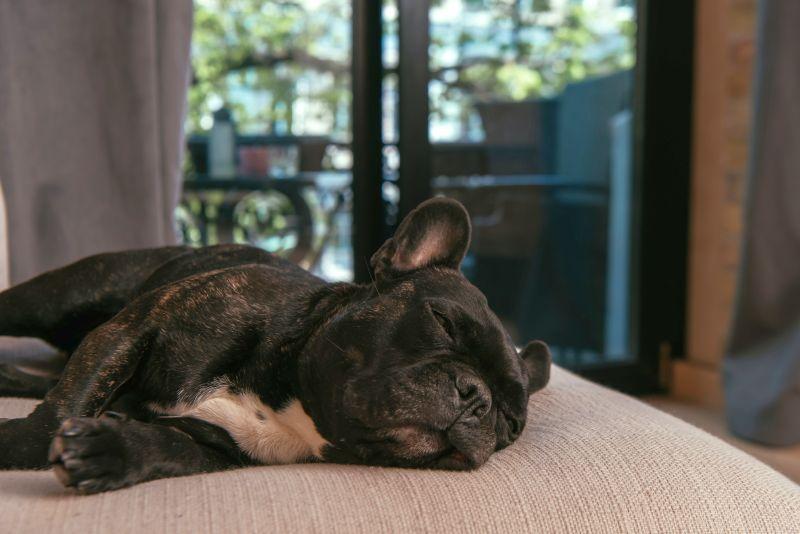 Does my dog have sleep apnea