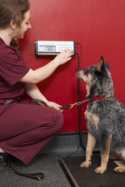 healthy body weight for dysplasia prevention