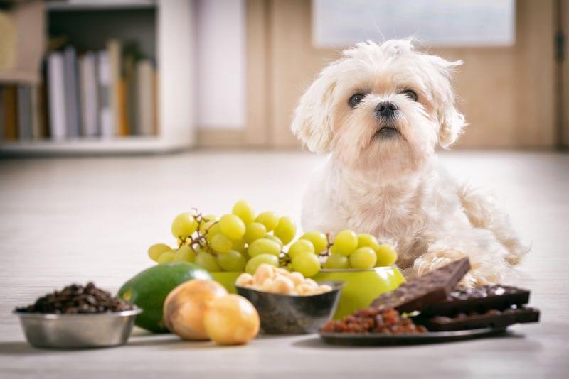 common dog toxins