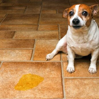 submissive urination in dogs