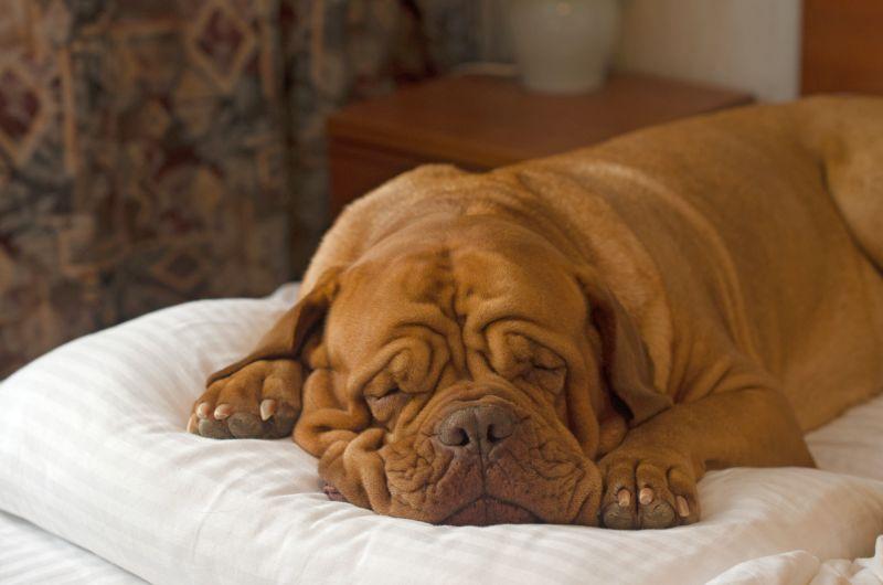 How to treat sleep apnea in dogs