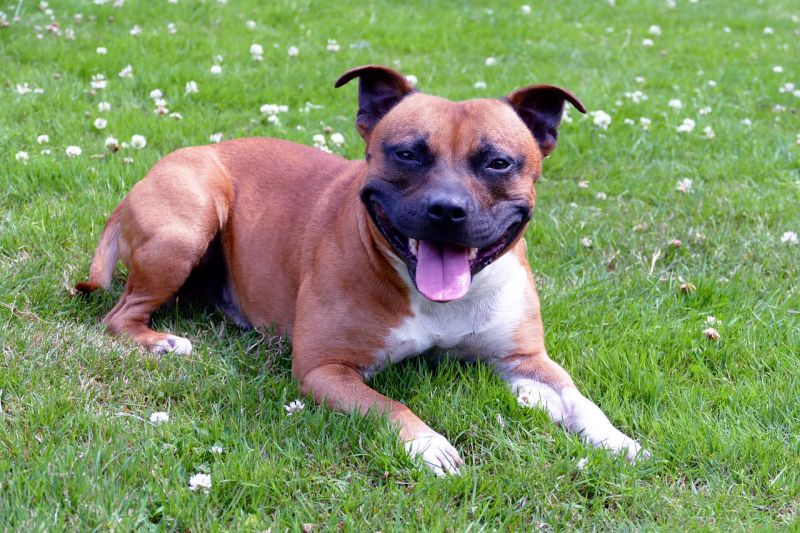 Staffies are very loyal dogs