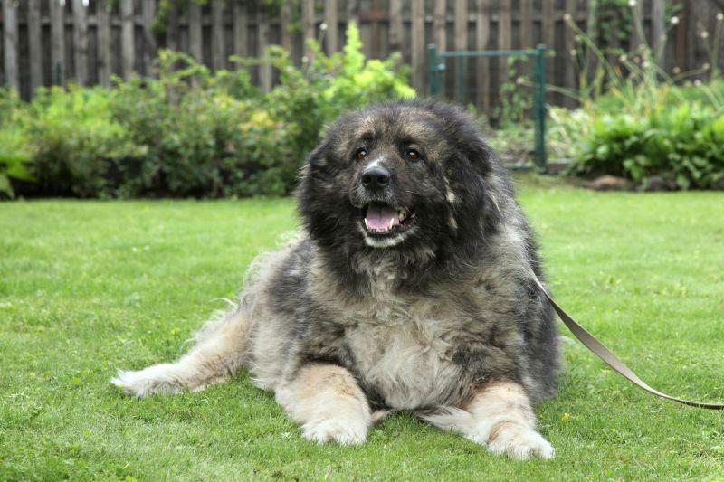 Adult Caucasian Shepherd dog