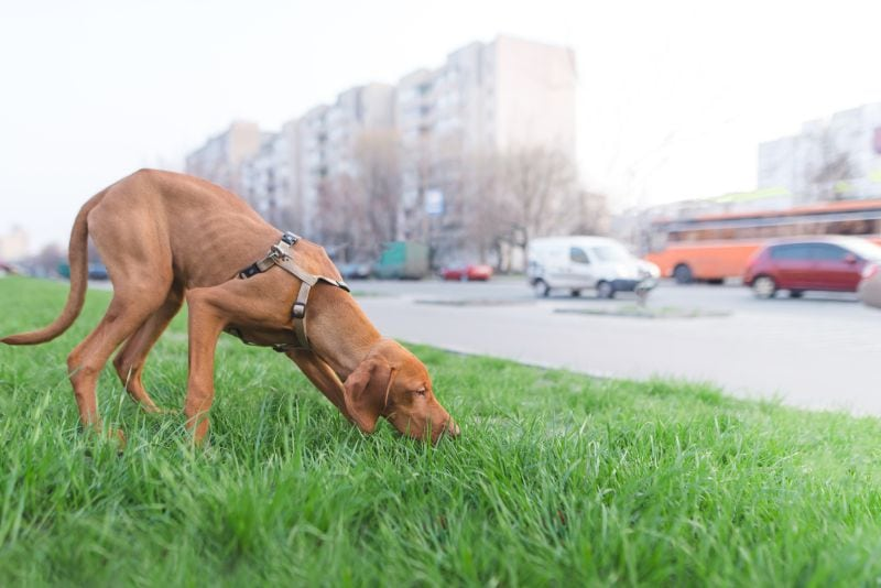 stress can make dogs refuse to pee on a leash