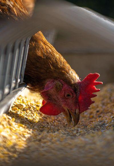 farmed chicken