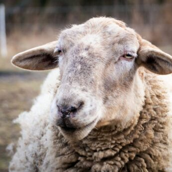 are lamb ears safe for dogs