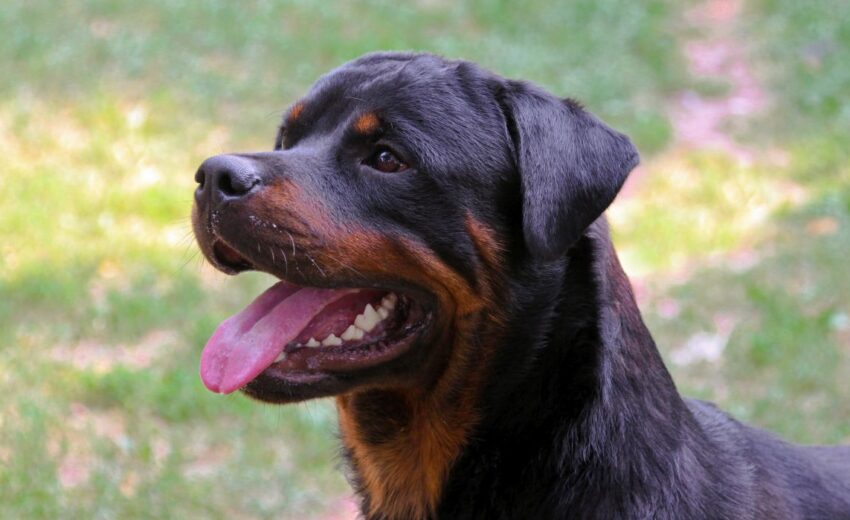 why you shouldn't get a Rottweiler