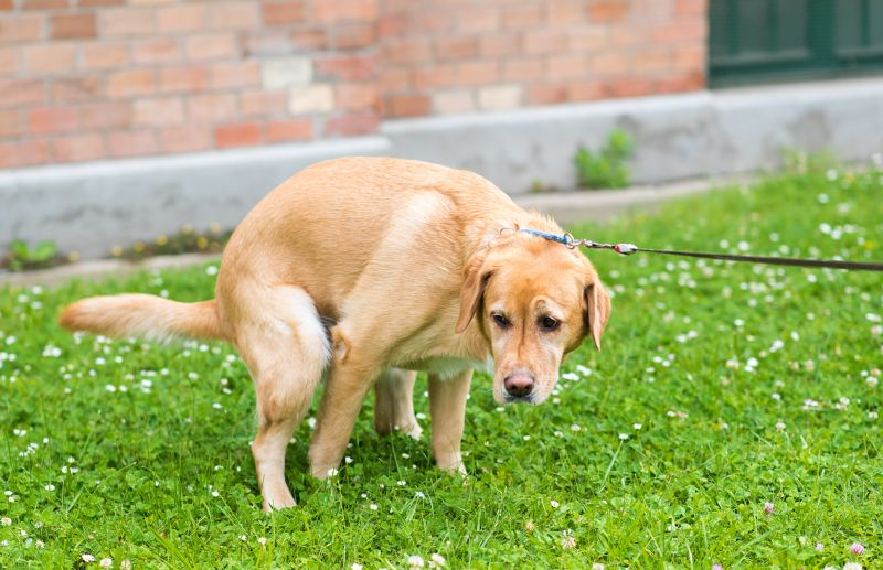 teaching dog to pee on a leash