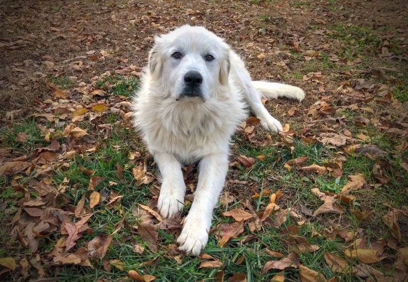 The great Pyrenees is very loyal