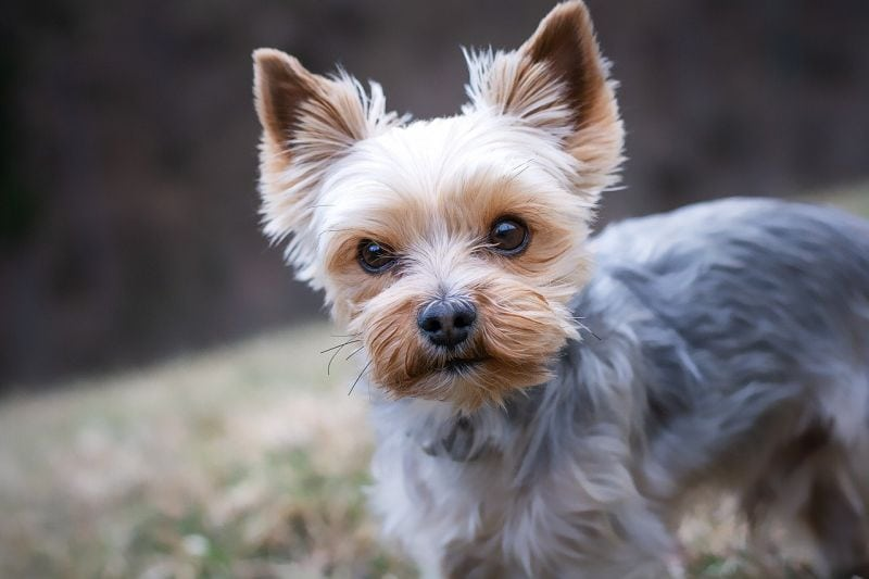 yorkies are loyal dogs