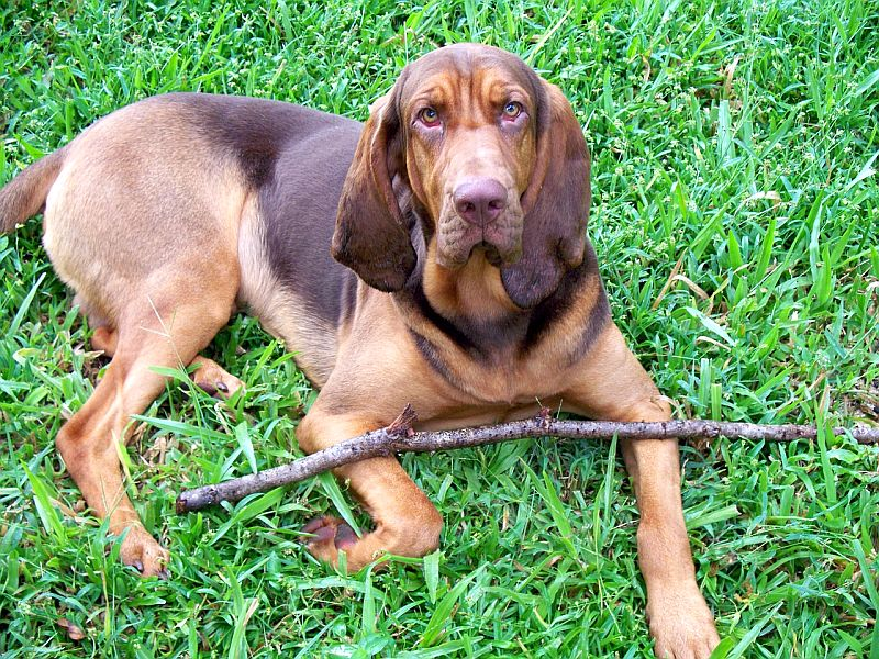 Bloodhounds are ugly dogs