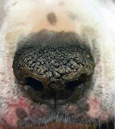 Hyperkeratosis of the nose