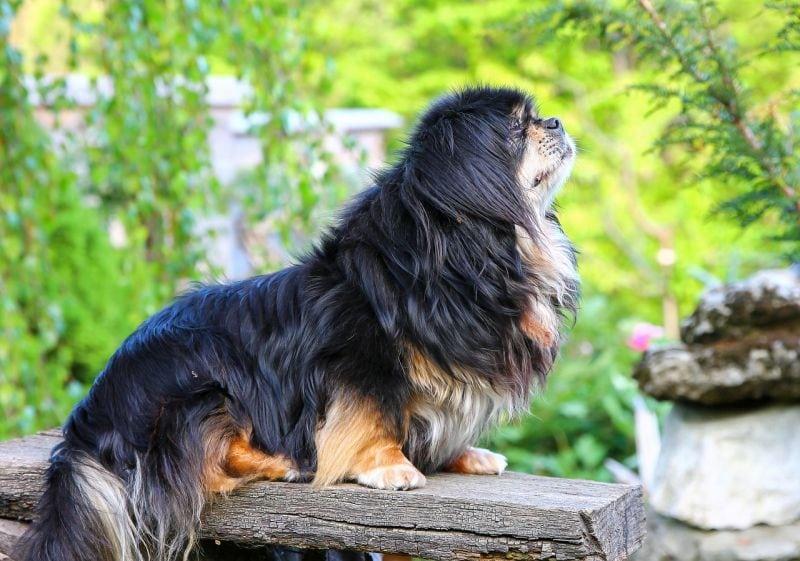 Tibetan spaniels are pretty calm dogs