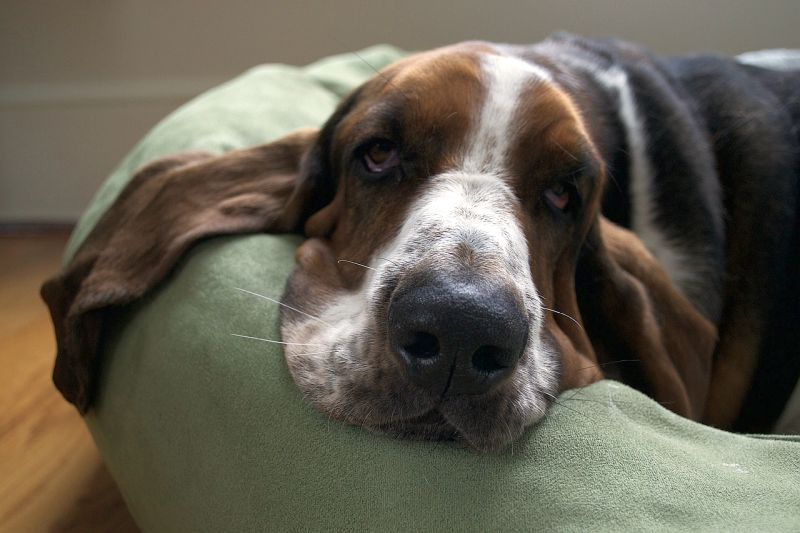 Basset hounds are a calm breed