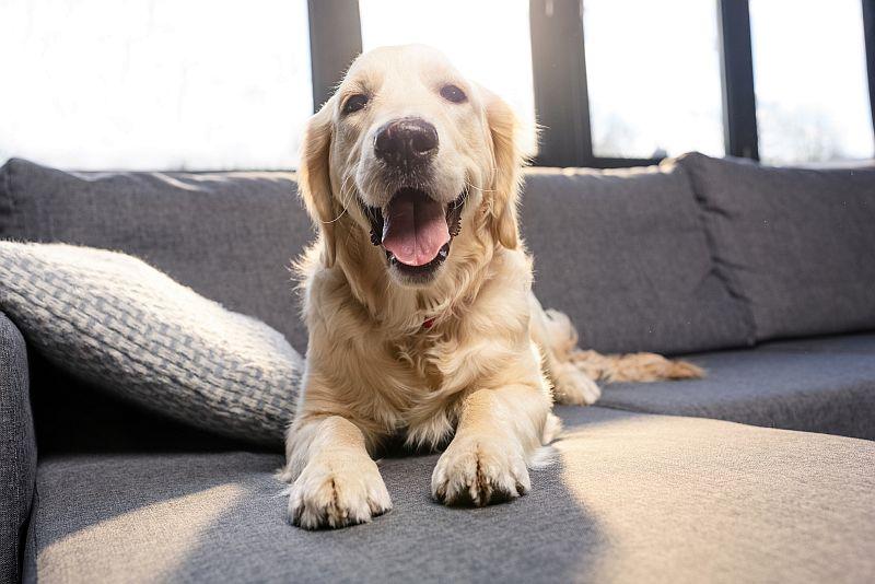 golden retrievers are susceptible to hyperkeratosis