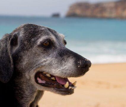 Average lifespan of dogs